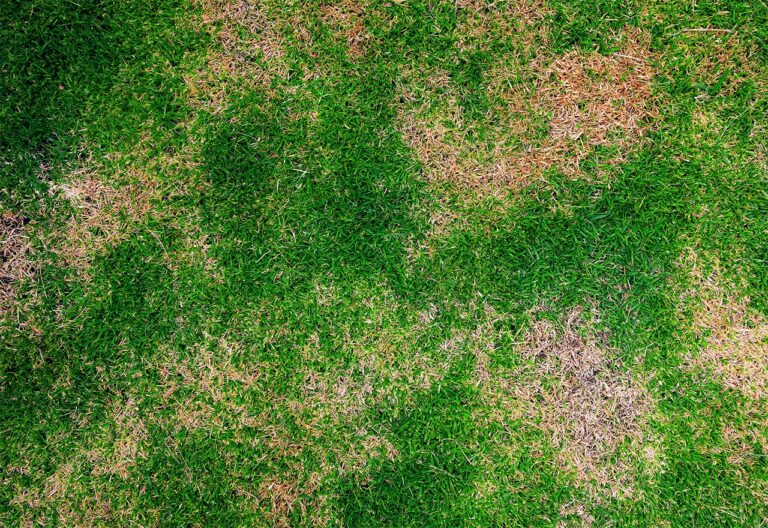 lawn grubs brisbane